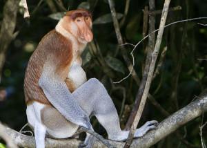 Indonezja, Borneo - Nosacz