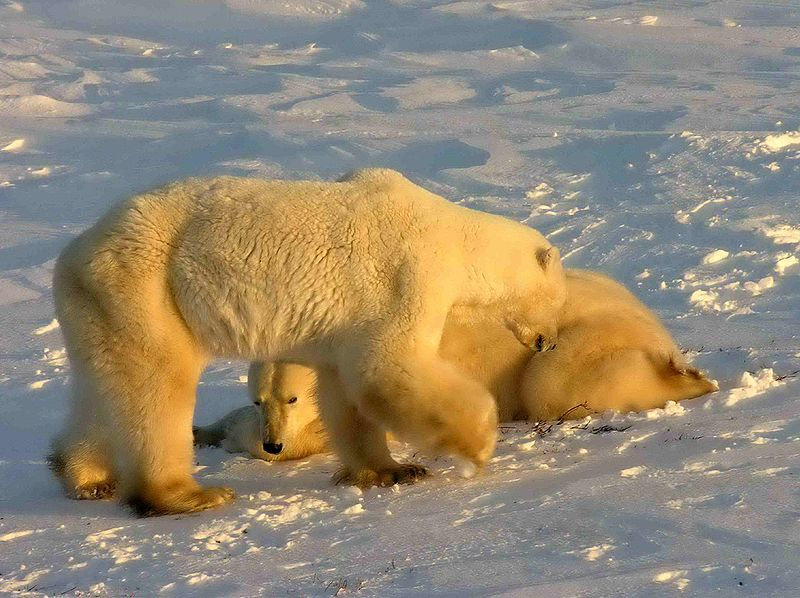 Kanada - niedźwiedzie polarne, Manitoba