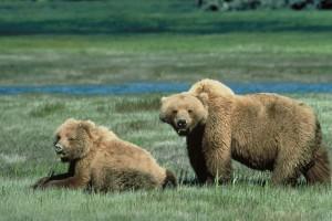 Park Narodowy Glacier - niedźwiedzie grizzly