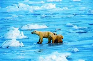 Niedźwiedzie Polarne w Manitoba