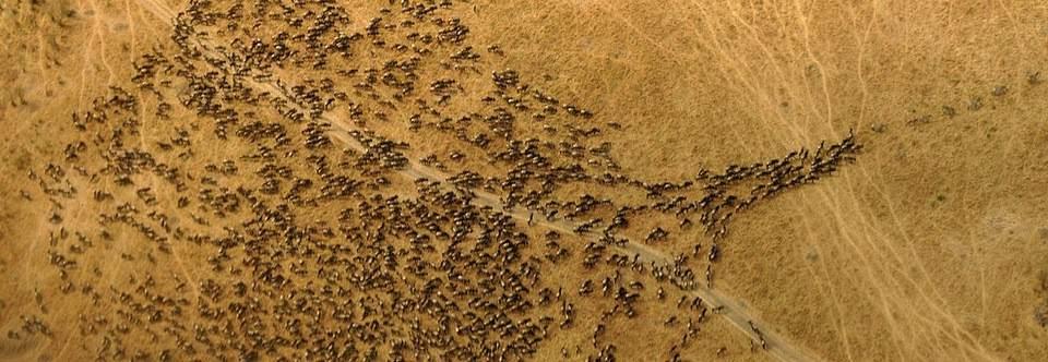 Wyjazd do Kenii - Gnu w parku Mara