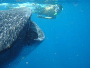 Wyjazd na Filipiny - Donsol - nurkowanie z rekinem