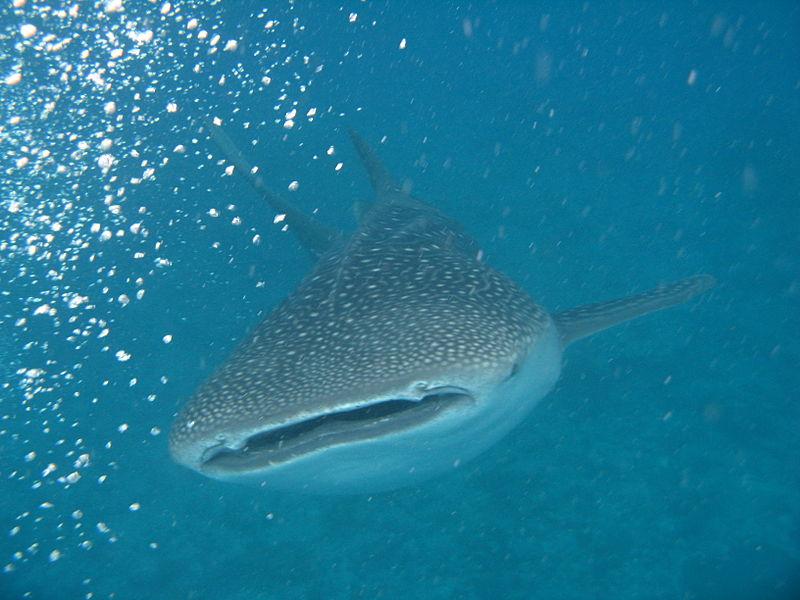 Wyjazd na Filipiny - Donsol - rekin wielorybi