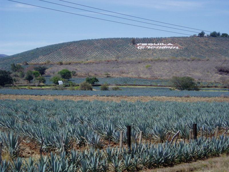 Zwiedzanie Meksyku - Pole Agawy