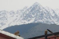 Indie – Dharamsala – małpa