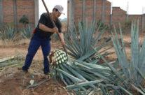 Meksyk – ścianie agawy
