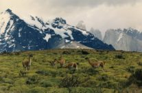 Wyjazd do Chile – guanaco w Torres del Paine