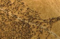 Wyjazd do Kenii – gnu w parku Mara