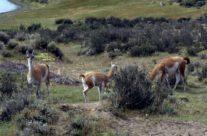 Wyjazd do Patagonii – Guanako