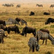 Tanzania – raj dla miłośników dzikich zwierząt