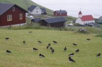 Ostrygojad – narodowy ptak farerski