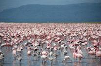 Zwiedzanie Kenii – flamingi w jeziorze Nakuru