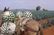Zwiedzanie Meksyku – agawa