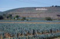 Zwiedzanie Meksyku – Pole Agawy