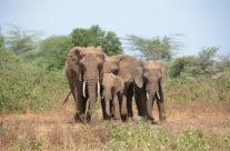 Zwiedzanie Tajlandii – słonie, park Manyara
