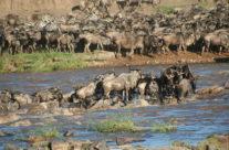 Zwiedzanie Tanzanii – gnu przekraczające rzekę