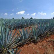Zwiedzanie Meksyku – pola agawy i tequila na liście światowego dziedzictwa UNESCO