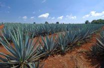 Zwiedzanie meksyku – plantacja agawy