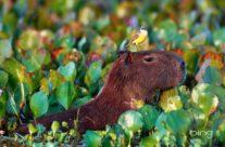 Zwiedzenie Brazylii – kapibara i ptak w parku Pantanal
