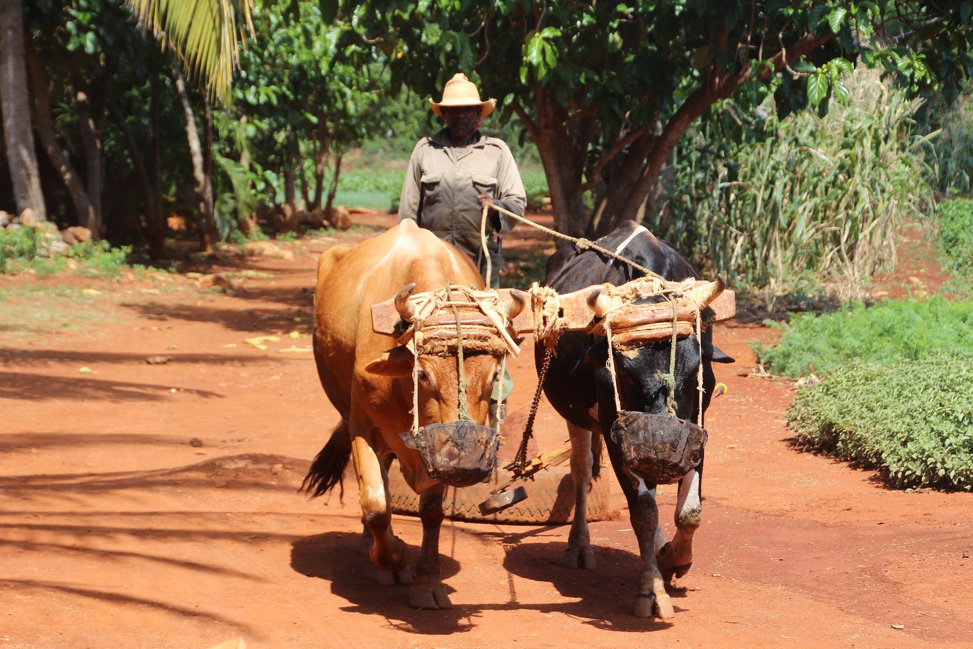 Kubański farmer